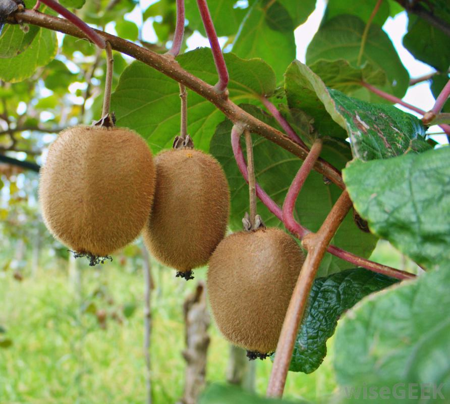 kiwi fruit  natural green farmtech, Beautiful flower