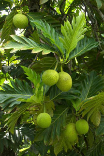 breadfruit-ntbg