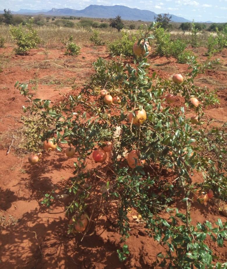 Pomegranate cultivation in Kenya | Natural Green Movement