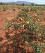 Pomegranate cultivation in Kenya