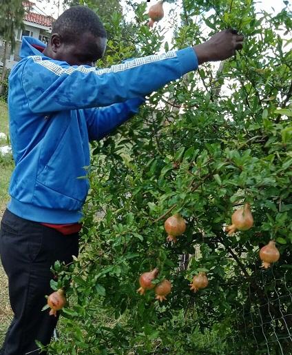 Pomegranate-syokimau