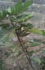 Edible Fig Fruit