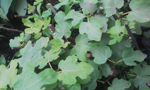 Fig Seedlings