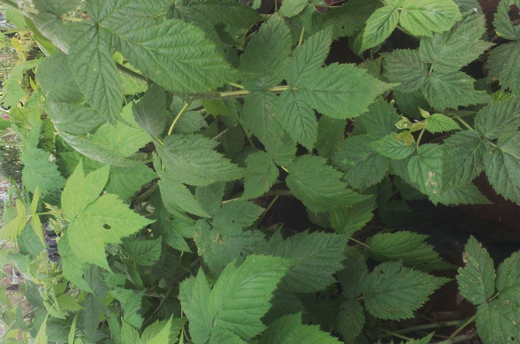 hybrid raspberry