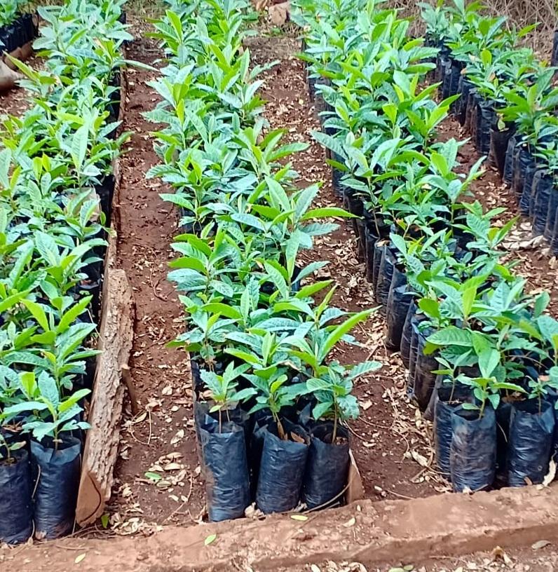 loquat seedling