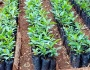 Loquat cultivation
